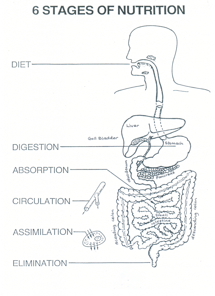 The 6 stages of nutrition: Diet (mouth), Digestion (stomach), Absorption (small intestine), Circulation (Blood Vessels), Assimilation and Elimination (Descending Colon).